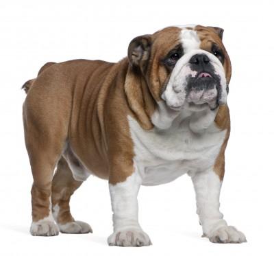 Forum Englische Bulldogge